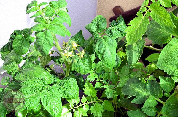 kwitnace pomidory