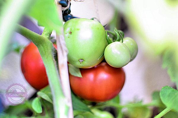 pomidory malinowe na balkonie