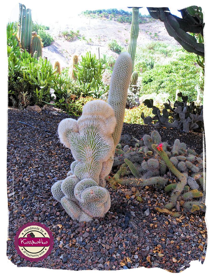 kaktus stasmiony