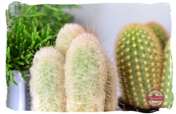 ciernie kaktusa
