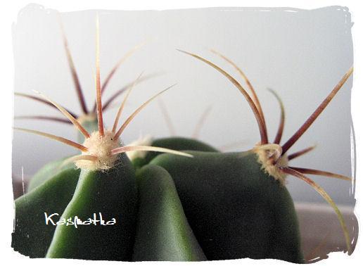 ferocactus