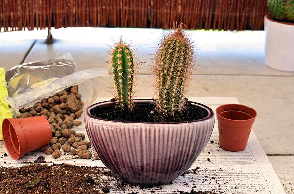 kaktusy po przesadzeniu