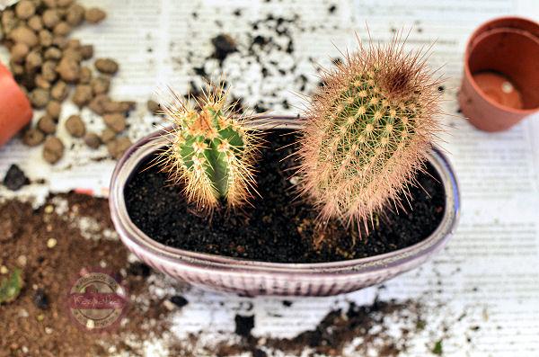 kaktusy w kaktusowce