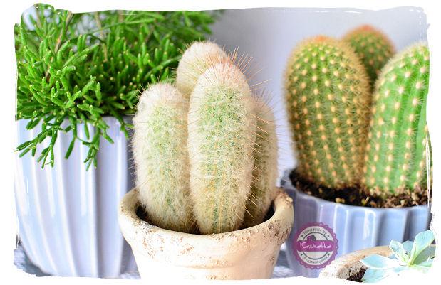 kaktusy w ozdobnej doniczce