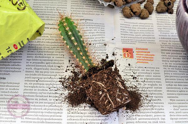 przesadzamy kaktusy