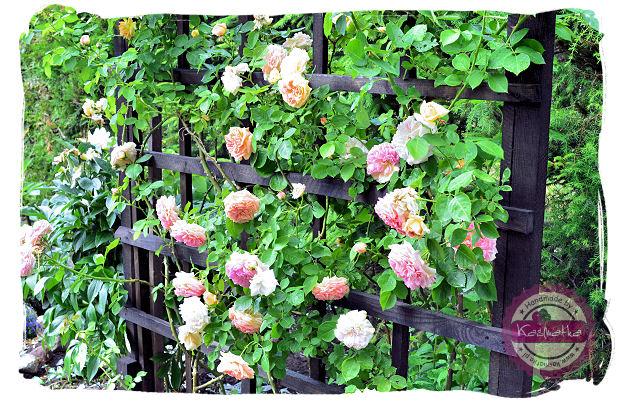 roze na pergoli