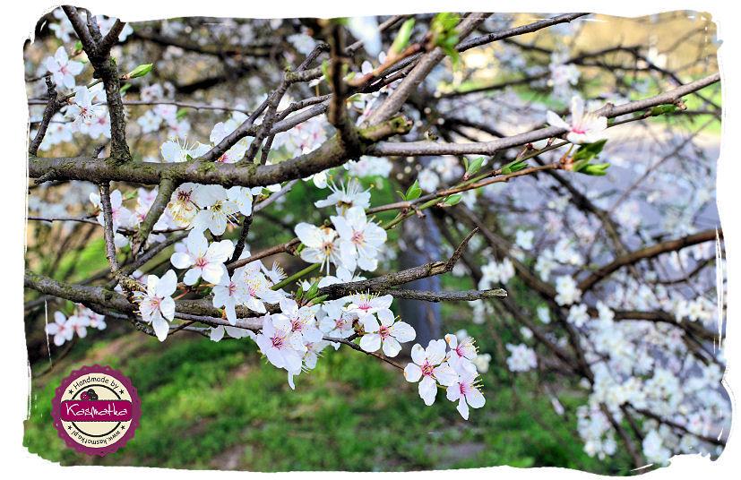 kwiat jabloni.jpg
