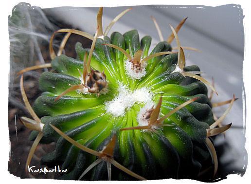 Echinofossulocactus
